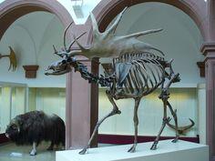 The Megafauna Massacre: Humans responsible for the extinction of ancient species Aliens, Irish Elk, Chauvet Cave, Deer Species, Cave Bear, Animal Skeletons, Prehistoric Creatures, Prehistoric Wildlife, Animal Bones