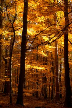 In golden woods, I find my late sister Madie. We walked in woods like these every fall. Gone but not forgotten.