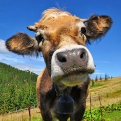 Close up of an adorable cow :)