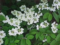 viburnum tree - Google Search
