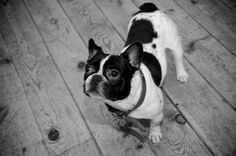 Save Stitchy from a Life of #Abuse | Animal Cruelty needs to STOP! This French Bulldog needs your help!!