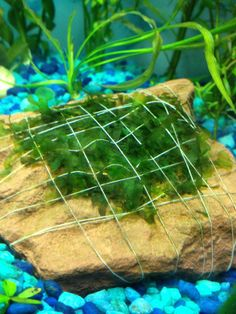 How to attach aquarium plants to a rock #DIY #Aquarium #Plantts