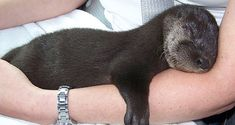 Oh lord, more baby otters