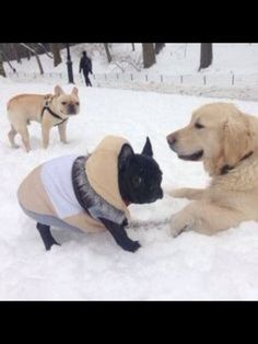 French Bulldogs and a Labrador in the Snow