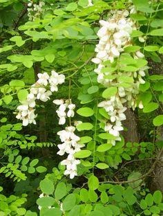 Robinier faux acacia / Les fleurs, très parfumées, sont comestibles et utilisées pour préparer des beignets aux fleurs d'acacia et entrent également dans la composition de sirops
