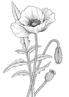 black and white drawing poppy flower - Google Search