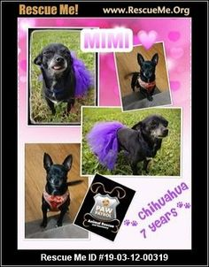 7 Best Chihuahua Rescue! images in 2017 | Beautiful gardens