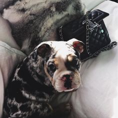 Kylie Jenner has a new pup and he is adorable! The pup is a Merle Tri English Bulldog and goes by the name of Rolly. TMZ.com is reporting that the pup is worth $50k but was gifted to Kylie Jenner from Jeremy Greene, CEO of PingTank, as a thank you for her help in supporting a launch of the company's new application. This dog didn't come cheap … $50k!!! We're told it was given to them as a gift by Jeremy Greene — the CEO of PingTank — an app both helped launch to success. These dogs do go for