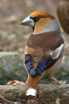 Hawfinch | Flickr - Photo Sharing! We have these all over our yard and trees, they are quite beutiful!