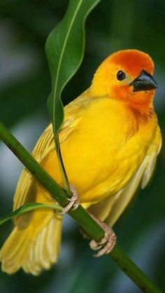 The Golden palm weaver (Ploceus bojeri) is a species of bird in the Ploceidae family. It is found in Ethiopia, Kenya, Somalia, and Tanzania. Kinds Of Birds, All Birds, Little Birds, Love Birds, Pretty Birds, Beautiful Birds, Animals Beautiful, Cute Animals, Funny Animals