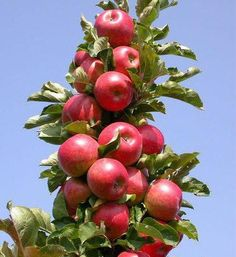 POMI FRUCTIFERI Black Currant Plant, Village Photography, Plum Tree, Vase Shapes, Tropical Beaches, Sweet Cherries, Fresh Apples, Red Fruit, Black Currants