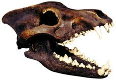Browse the Museum Store Company and find great deals on museum replicas and gifts including the Dire Wolf Skull with Stand. Get the best prices and receive fixed rate shipping on any purchase of a Dire Wolf Skull with Stand or other gift. Skulls For Sale, Skull Model, Skull Reference, Wolf Skull, Wolf Costume, Dire Wolf, Animal Bones, Animal Skulls, Animal Skeletons