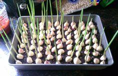 Como cultivar alho adequadamente e economizar dinheiro! Planting Seeds Quotes, Garlic Benefits, Garlic Bulb, Lower Cholesterol, Aquaponics, Growing Plants, Asparagus, Green Beans, Flower Pots