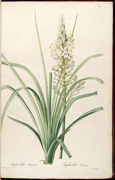 vol. 6 - Les liliacees, illustrations by Redoute, 1812 - Biodiversity Heritage Library