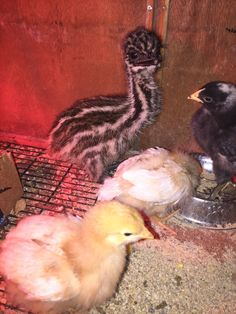 Raising a lone baby emu with baby chickens benefits both! Baby Chickens, Emu, Poultry, Raising, Backyard Chickens, Baby Chicks