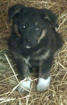 Two-Socks is an 12 week old puppy. Her mom looks like a full Australian Shepherd, dad is unknown. Two-socks is very confident and out-going, very curious little girl. They have been in a foster home with several other dogs big and small and get...