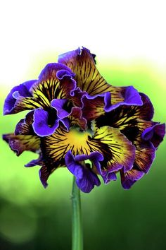 Purple and Yellow Frilly Pansy; photograph by Joy Watson