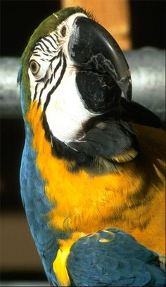 Blue & gold Macaw - from Parrot Island