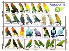 Tipos de especies de agapornis