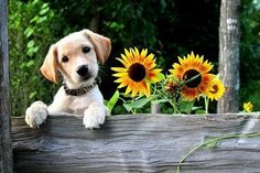 pup and sunflowers