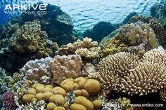 Coral reef conservation | Arkive