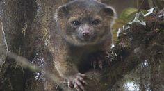 """Малко животинче, което прилича на кръстоска между котка и меченце, е първият нов месояден вид, открит в Западното полукълбо от 35 години насам. Това съобщи институтът """"Смитсониън"""" във Вашингтон след експедиция в Еквадор."""