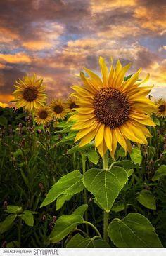 23 ideas for wallpaper flores bloemen Sunflower Garden, Sunflower Art, Sunflower Fields, Sunflowers And Daisies, Yellow Flowers, Beautiful Flowers, Sun Flowers, Growing Sunflowers, Sunflower Pictures