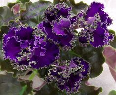 African Violet Plant Cajuns Royal Knockout | eBay Cajun's Royal Knockout (10495) 01/17/2012 (B. Thibodeaux) Semidouble-double bright purple star/frilled green edge. Medium green, ovate, quilted, ruffled. Standard (DAVS 1763)