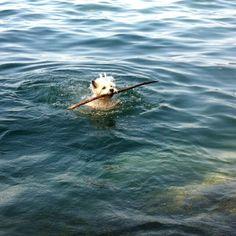Westi Joy Seepferdchen für Hunde: 3 Stöckchen holen und etwas schwimmen… #Hundename: Joy / Rasse: #Westi      Mehr Fotos: https://magazin.dogs-2-love.com/foto/westi-joy/ Fitness, Foto, Hund