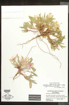 Onagraceae_0