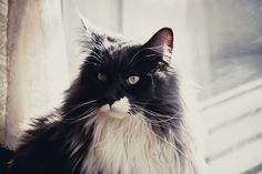Mainecoon Black & White