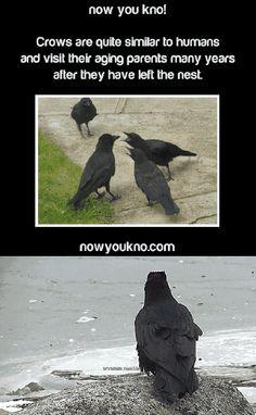Crows have long memories...