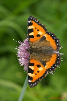 Aglais urticae Beautiful Butterflies, Beautiful Birds, Painting & Drawing, Butterfly, Dragonflies, Drawings, Pretty, Colorful, Animals