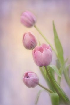 Soft Tulips by Ann Bridges Pink tulips on a purple and gold background