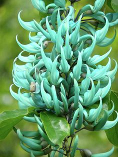 Jade tropical flower from Waimea Valley, Hawaii.
