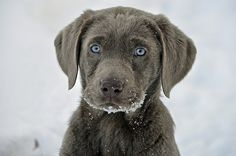 weimaraner puppy (blue eyes)