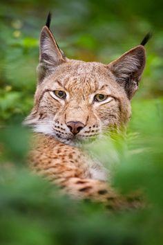"""..""""Lynx"""" by Stefan Betz"""