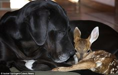 Great Dane Adopts Orphaned Fawn named Pip