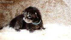 Kally-14T-1 #mainecoon #katzenbaby #kitten