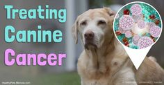 Immuno-augmentative therapy is designed to make the immune system more efficient against cancer in humans, but it isn't available yet in veterinary medicine. http://healthypets.mercola.com/sites/healthypets/archive/2017/04/16/cancer-treatment-for-people-pets.aspx?utm_source=petsnl&utm_medium=email&utm_content=art1&utm_campaign=20170416Z1&et_cid=DM140520&et_rid=1969505823