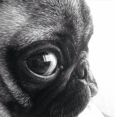 Pug close up -- oh the cuteness. I love pugs! Baby Animals, Funny Animals, Cute Animals, Pug Love, I Love Dogs, Amor Pug, Pugs And Kisses, Baby Pugs, Pug Pictures