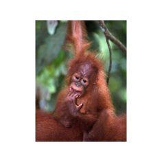 Find any Poster, Art Print, Framed Art or Original Art at Great Prices. Sumatran Orangutan, Baby Orangutan, Animals Are Beautiful People, Beautiful Creatures, Animals And Pets, Baby Animals, Cute Animals, Primates, Wild Life