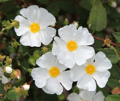 """cistus or rock-rose. Said to be the """"Rose of Sharon"""" #Elle"""