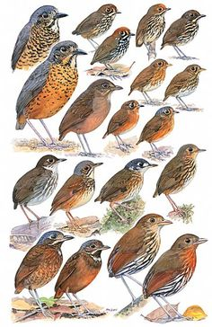 ANTPITTAS 2 - Birds of Peru by Larry McQueen Genera:  Grallaria, Grallaricula, Myrmothera, Hylopezus  Species: Undulated Antpitta (2 figs), Plain-backed Antpitta, Peruvian Antpitta (2 figs), Ochre-fronted Antpitta (2 figs), Ochre-breasted Antpitta (2 figs), Rusty-breasted Antpitta, Slate-crowned Antpitta, Thrush-like Antpitta, Spotted Antpitta, White-lored Antpitta, Amazonian Antpitta, Variegated Antpitta, Scaled Antpitta, Elusive Antpitta, Ochre-striped Antpitta.