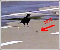 How Smart Crows Crack Their Nuts. Talk about survival of the fittest!