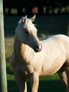 Dakota is a palamino quarter horse foal who lives in New Zealand.