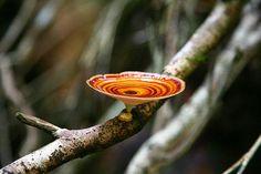 Microporus xanthopus, Northern Queensland. Photo by Erland Howden.