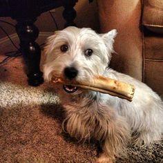 "@prestonspeaks's photo: ""Elvis: I need to hide Preston's bone quick before he notices it is gone! #westie #dog""    www.PrestonSpeaks.com"
