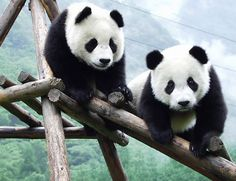 Pandas in the Wolong Nature Reserve's Panda Breeding & Research Centre.