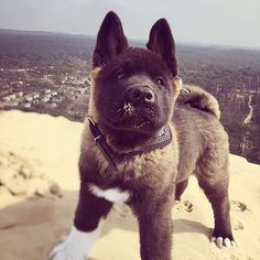 My first time at the Dune du Pilat Dog Akita american akita Akita Puppies, Cute Puppies, Cute Dogs, Dogs And Puppies, Doggies, Big Dogs, I Love Dogs, American Akita Dog, Yorkie